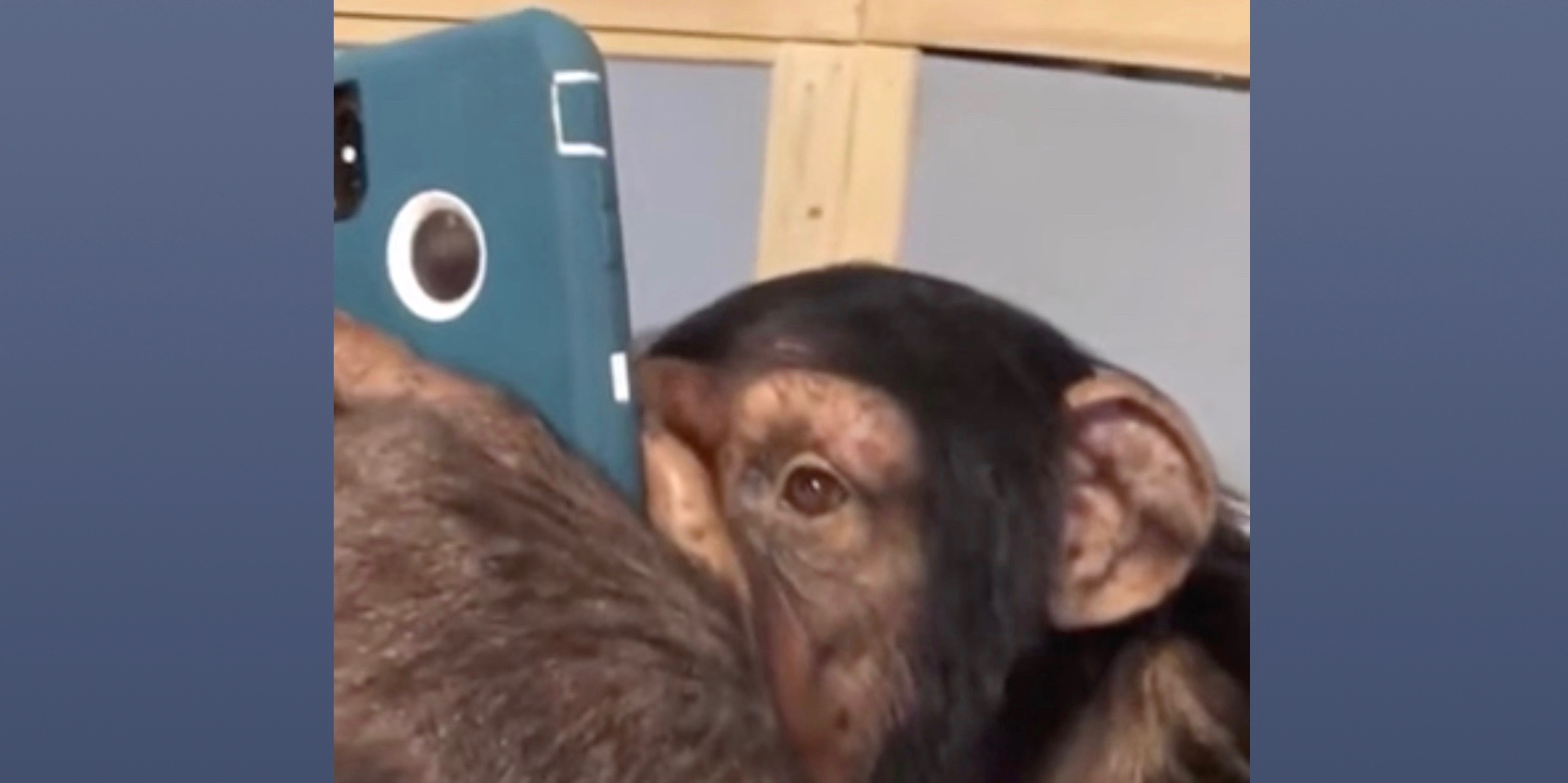 Chimpanzee browsing Instagram on iPhone with precision goes viral [Video]